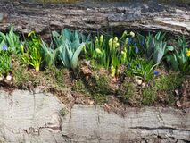 Free Flower Bulbs In Sprintime, Valkenburg Stock Photography - 169580372
