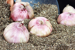 Flower Bulbs and Potting Soil. Flower corms or bulbs in potting soil with trowel Royalty Free Stock Photos