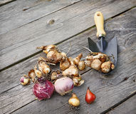 Flower bulbs and shovel on the wooden table. Royalty Free Stock Photo