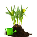 Flower bulbs with watering can Royalty Free Stock Image