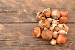 Flower bulbs. On wooden table Stock Photography