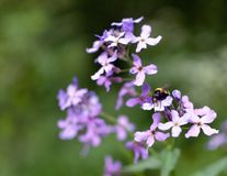 Flower with bumblebee Stock Images