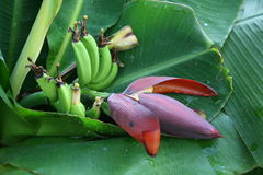 Flower and a bunch of bananas. Which are on the sheet Royalty Free Stock Photos
