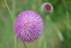 Flower of burdock close-up. Purple flower of burdock close-up Royalty Free Stock Image