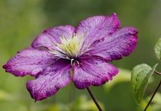 Flower, Burgundy clematis Stock Image