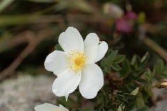 Burnet rose Rosa spinosissima Royalty Free Stock Photo