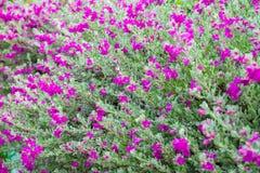 Flower Bush Barometer Brush. Flower bush named Ash Plant, Barometer Brush, Purple Sage, or Texas Ranger stock image