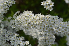 Flower bush Royalty Free Stock Image