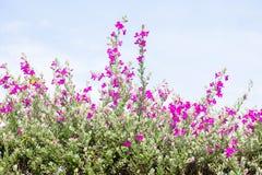 Flower Bush Barometer Brush. Flower bush named Ash Plant, Barometer Brush, Purple Sage, or Texas Ranger royalty free stock photography