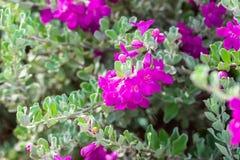 Flower Bush Barometer Brush. Flower bush named Ash Plant, Barometer Brush, Purple Sage, or Texas Ranger stock photo