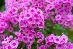 Flower bush phloxes of pink color Stock Photos
