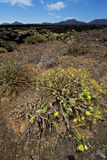 Flower  bush timanfaya  hill and summer Royalty Free Stock Photos