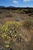 Flower  bush timanfaya  hill and summer  lanzarote spain plant Royalty Free Stock Photo