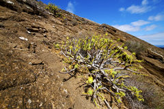 Flower  bush timanfaya volcanic stone sky   summer    spain plan Stock Photography