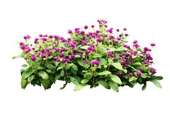 Free Flower Bush Tree Isolated With Clipping Path Stock Photography - 157382842