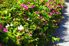 Flower bush. With white and purple flowers Stock Image
