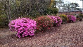 Flower bushes. A series of pink, yellow, and red flower bushes planted near a walking trail on Charleston AFB in Charleston, South Carolina, USA stock images