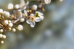 Flower and buts of cherry plum in early spring, closeup with gen Royalty Free Stock Photography