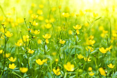 The flower of the Buttercup. The flower of the Buttercup acrid,long-term,Lugovoi with the name of Chicken blindness Royalty Free Stock Images
