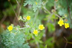 The flower of the Buttercup acrid,long-term with the name  Chicken blindness Stock Images