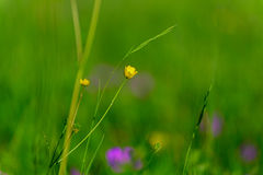 Flower of the Buttercup acrid Royalty Free Stock Image