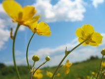 Flower buttercup against blue sky. In summer Stock Photography