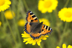 The Flower Butterfly. The butterfly in the field on a camomile flower Stock Images