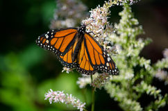 Flower and butterfly. A delicate monarch butterfly climbs a lacy white flower stalk royalty free stock photo
