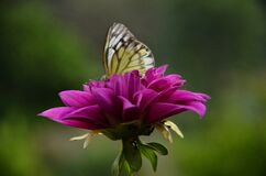 Flower In The Butterfly Buautiful Background View Himachal Pradesh India
