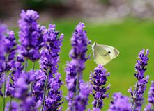 Flower and butterfly Royalty Free Stock Images