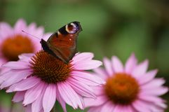 Flower, Butterfly, Nectar, Insect Royalty Free Stock Image