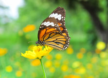 Flower. Butterfly on yellow cosmos flower,close up Royalty Free Stock Photo