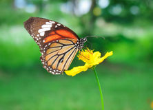 Flower. Butterfly on yellow cosmos flower,close up Royalty Free Stock Images