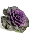 Flower of cabbage Stock Images