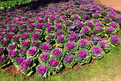 Flower  Cabbage. In Botanic Garden Stock Images