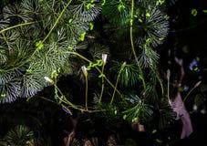 Flower of Cabomba Caroliniana. Limnophila heterophylla Roxb. Benth royalty free stock photos