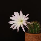 Flower of cactus. Echinopsis hybr in pot on black background Royalty Free Stock Photo