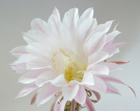 Flower of cactus Stock Image