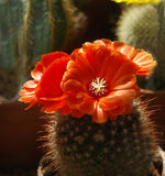 Flower of a cactus. In botanical garden Royalty Free Stock Photography