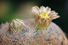 Flower cactus. Bud and flower cactus on dark background Royalty Free Stock Photo