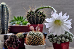 Flower of cactus Stock Images