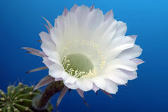 Flower on a cactus Royalty Free Stock Image