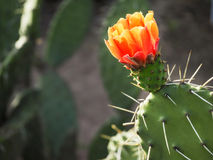 Flower of cactus. Flowering cactus close-up. Prickly pears. Stock Photos