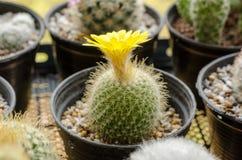 Flower cactus of parodia cactus on pot,yellow blossom cactus decoration in garden Royalty Free Stock Photos