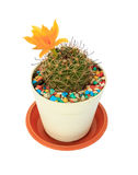 Flower cactus in pots on White background and isolated Stock Photo