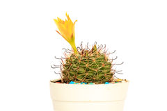 Flower cactus in pots on White background and isolated Royalty Free Stock Image