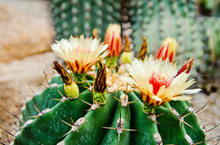 Flower of cactus. S with small stones in background stock illustration