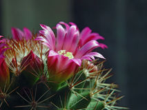 Flower of a cactus of sort Mammillaria. Stock Photos