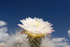 Flower of Cactus of Tucuman Royalty Free Stock Images