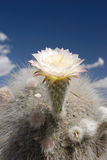 Flower of Cactus of Tucuman Stock Photography